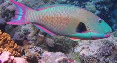 سمكة الببغاء