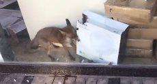 الثعلب يبحث عن الطعام