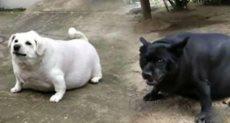 الكلبان السمينان