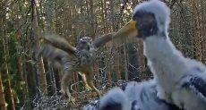 الصقر يهاجم طيور اللقلق