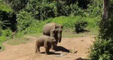 فيلة لاوس مهددة بالانقراض