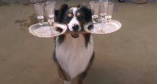 كلب خبير في حمل الأكواب