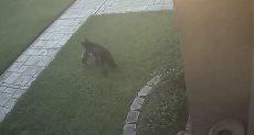 هجوم ذئب على كلب