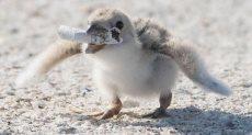 طائر النورس الصغير يحمل عقب سيجارة