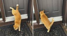 القط يقرع الباب بأرجله الخلفية