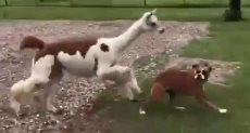 """حيوان """"الألبكة"""" يطارد الكلب"""