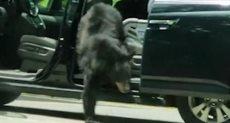 الدب يتسلل إلى السيارة