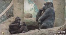 الشمبانزى يفكر
