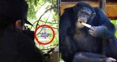 الشمبانزى الهارب