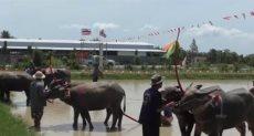 سباق الجواميس في تايلاند