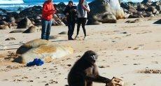 القرد يفتش فى الحقيبة التى سرقها