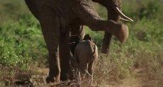 الفيلة الصغيرة تلعب مع شقيقها