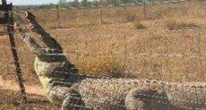 التمساح يحاول اختراق السياج