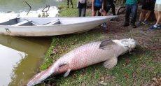 سمكة أرابيما