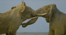 فيلان يتصارعان