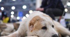 كلب من قصيلة الراعي الآسيوي