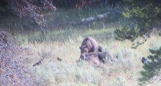 الدب يحرك ثور البيسون