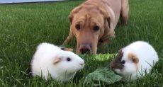 الكلب مع الخنزيرين