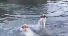 الكلاب تستمتع بالماء