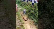 نمر يهاجم رجلا في غرب البنغال