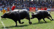 انطلاق المهرجان السنوى لمصارعة الجاموس فى فيتنام