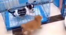 القط الصغير يهاجم الجرو