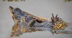 جانب من معركة التمساح والثعبان