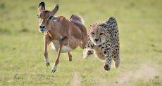الفهد يطارد الظبى