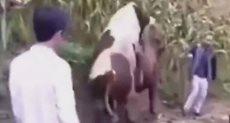 الثور يحاول ملاطفة البقرة