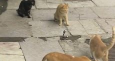 قطط تحاصر ثعبان