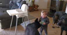 الطفل يلعب مع الكلاب
