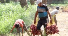 حصاد البلح