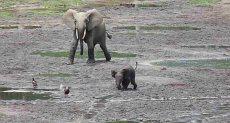 فيل صغير يطارد مجموعة من الطيور