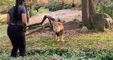"""امرأة تقتحم عرين الأسد في حديقة حيوان """"نيويورك"""""""