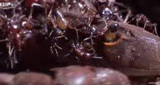 هجوم النمل على سرطان البحر