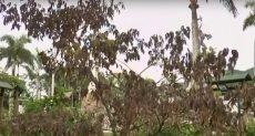 شجرة بابا الفاتيكان في كولومبيا