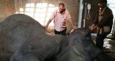 نفوق الفيلة نعيمة