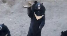 الدببة تلوح للسياح