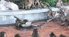 معركة الثعبان والقرود