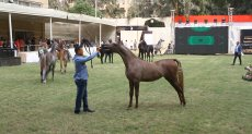 انطلاق مهرجان الخيول العربية