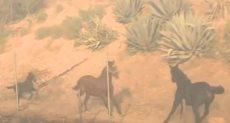 فى وسط حرائق كاليفورنيا.. حصان يعرض نفسه للخطر لإنقاذ رفيقيه