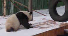 الباندا تلهو على الثلوج