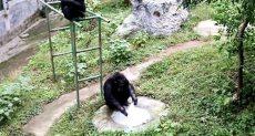 الشمبانزي يغسل الملابس