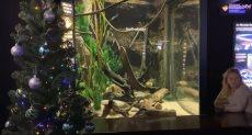 كهرباء الاسماك تضيئ شجرة عيد الميلاد
