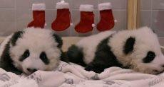 توام الباندا