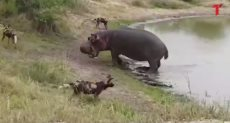 الكلاب تهاجم فرس النهر