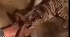 النمر ينقض على سوداى