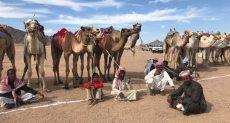 مهرجان الهجن بشرم الشيخ