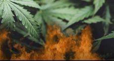 مداهمة مزارع المخدرات