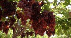 موسم حصاد العنب